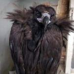 Avrupa'nın en yırtıcı kuşu Tunceli'de bu halde bulundu