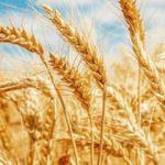 Bakanlıktan, 'sıfır gümrükle ithal buğday' açıklaması