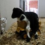 Ayakta duramayan 'Şans'a oyuncak kamyonla destek