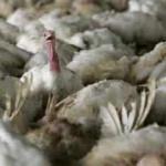 Avrupa ülkesinde kuş gribi alarmı: Binlerce hindi itlaf edildi