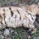 Şanlıurfa'da ölü çizgili sırtlan bulundu