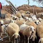 """Kırşehir'de 5 yılda 481 """"sertifikalı çoban"""" yetiştirildi"""