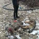 Sürüye dadanan kurtları, Kangallar parçaladı