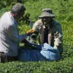 Koronavirüs görüldü tedirgin oldular: Çayı kim toplayacak
