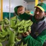 Muz üreticileri Manavgat'a yöneldi