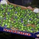 Yeşil eriğin kilosu 750 TL