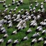 Göç eden leylekler Doğu Akdeniz'de mola verdi