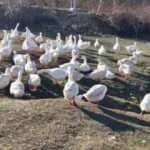 Kaz çiftliğinde et, yumurta ve civciv siparişlerine yetişemiyor