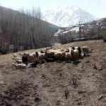 Köye inen aç kurtlar 15 hayvanı parçaladı