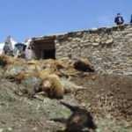 Toprağı kazarak ahıra girdi, 50 koyunu telef etti