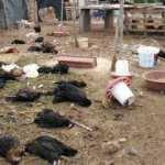 Çiftliğe giren köpekler 120 tavuğu parçaladı