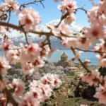 Akdamar Adası çiçek açan badem ağaçlarıyla göz kamaştırıyor