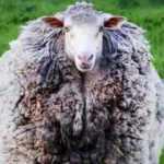 Firar eden koyun 7 yıl sonra evine döndü