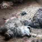 Hakkari'de ayı, bu kez 25 koyunu telef etti