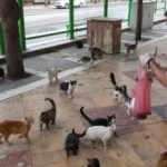 Aç kalan kediler otele akın etti! Ciğerle beslediler