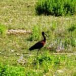 Bodrum'da çeltikçi kuş ilk kez görüntülendi