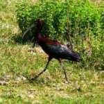 Bodrum'da ilk kez çeltikçi kuşu görüntülendi