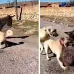 Kangal köpeklerini sıpaya saldırtan cani serbest kaldı
