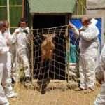 Anavatanı Türkiye olan alageyiklerin yaşam alanı artıyor