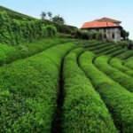 Çay hasadı için seyahat kısıtlamasından muafiyet talebi