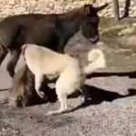 Kangal köpekler saldırtılan sıpadan acı haber!