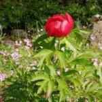 Bilecik'te ilk kez şakayık çiçeği görüldü