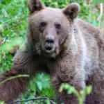 Kapana yakalanan ayıya kurtarma operasyonu