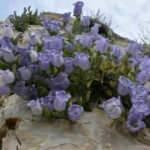 Koruma altındaki çiçeği koparana 73 bin lira ceza