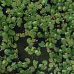 Nilüfer çiçekleri gölleri süslemeye başladı