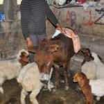 Annesi olmayan kuzular eşek sırtından besleniyor