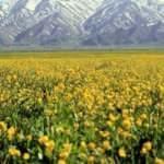 Yüksekova'nın dağlarında kar ve sarı çiçeklerin kartpostallık manzarası
