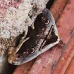 Kahramanmaraş'ta görülen 'tavus kelebeği' hayrete düşürdü