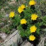 150 yıl sonra 'Sarı Dağ Gülü' yeniden ortaya çıktı