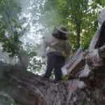 Ağaca koloni yapan arılar çiftçilere saldırdı