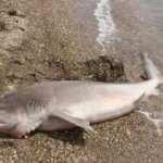 Çanakkale'de kırmızı listeyle koruma altına alınan köpek balığı sahile vurdu