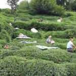 Çay hasadı için Rize'ye gelenlerin sayısı