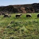 Kayıp koyunlar 9 saat sonra bulundu