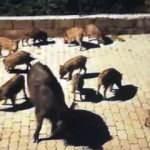 Marmaris'te doğada aç kalan domuzlar şehre indi