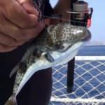 Olta balıkçılarının 'Balon balığı' şaşkınlığı