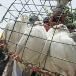 Hindistan-Pakistan sınırında 'casus güvercin' vakası! Gizem çözüldü