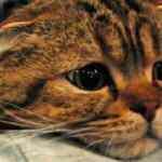Rusya'da 5 yaşındaki bir kedide koronavirüs çıktı