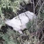 Tunceli'de kar yağışı 503 koyun ve kuzuyu telef etti