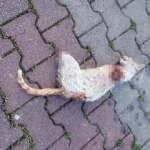 Bacakları kesik kedi, sansar tarafından öldürülmüş