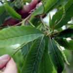 'Katil arı' Zonguldak'ta da görüldü: Kestane ağaçlarını öldürüyor