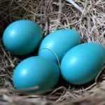 Mavi yumurta talebine yetişemiyor!
