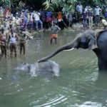 Vahşetin böylesi: Hindistan'da fil patlayıcılı ananasla öldü