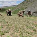 2 PKK'lının  öldürüldüğü operasyonda 10 bin kök Hint keneviri de bulundu