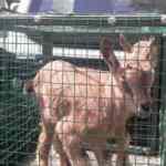 Aç kalan yavru yaban keçilerine vatandaşlar sahip çıktı