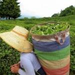 Çaykur 203 bin ton yaş çay alımı gerçekleştirdi