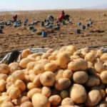 Patates ekim alanı arttı